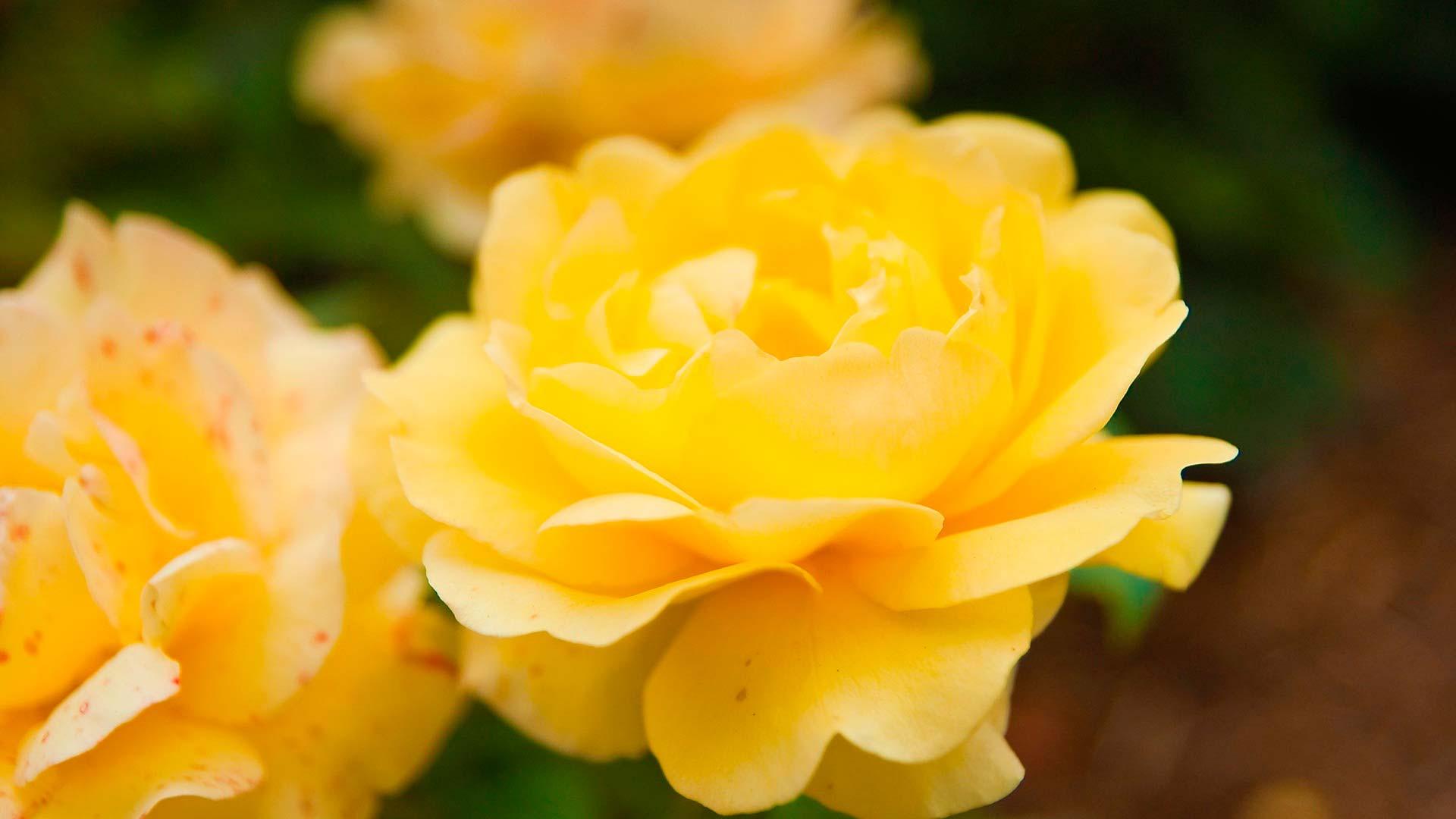 Фото желтые цветы на столе