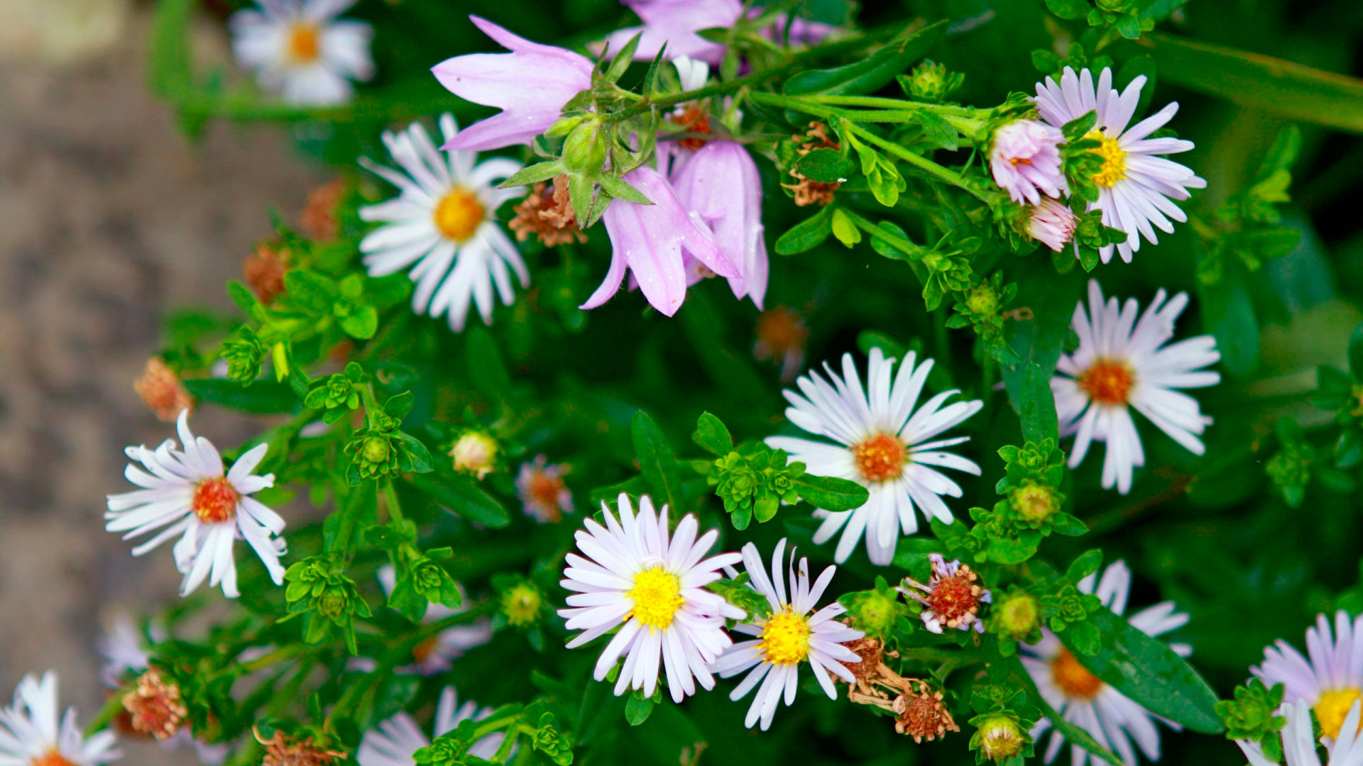 Обои полевые ромашки полевые цветы