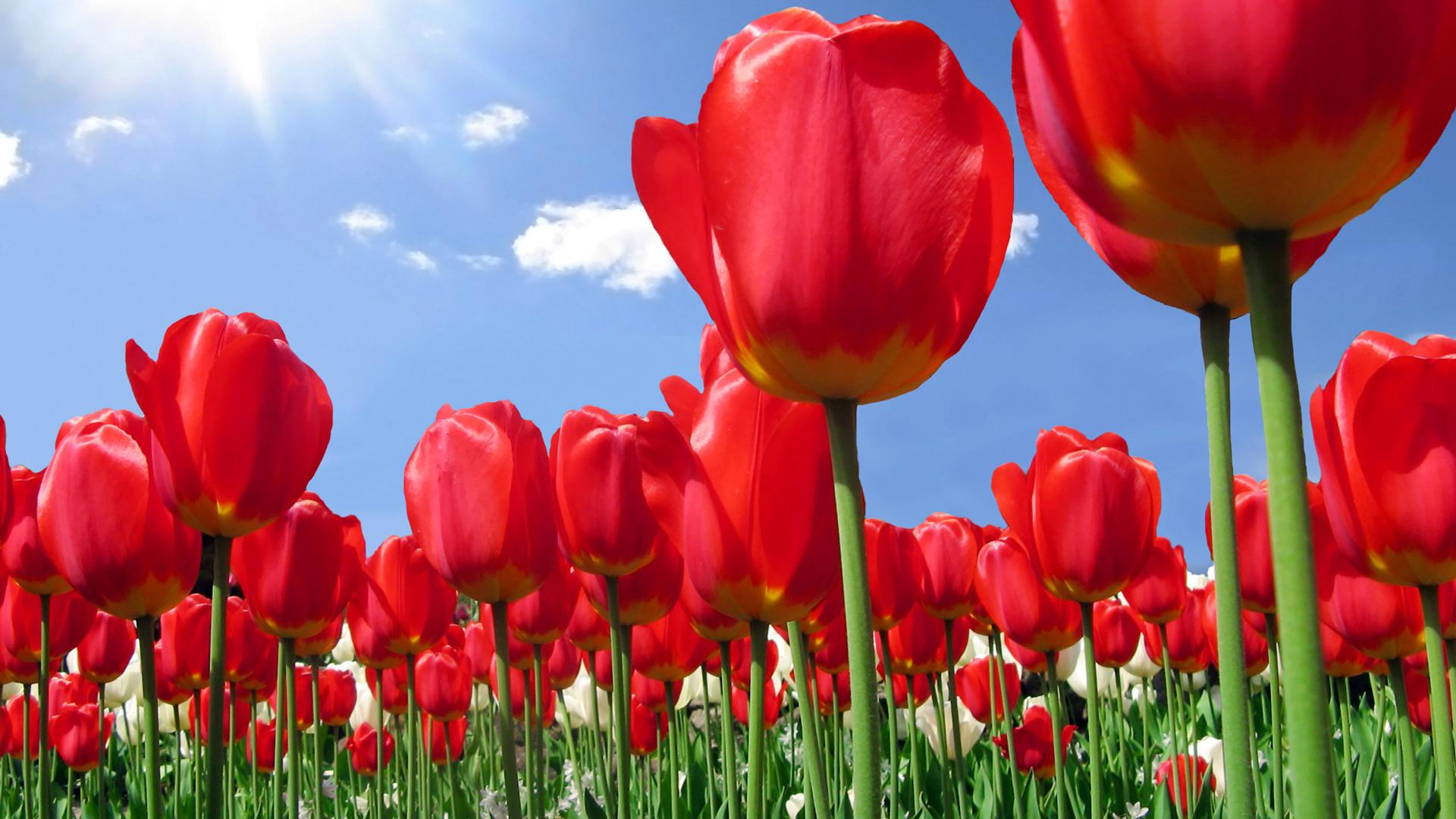 Обои красные тюльпаны для рабочего