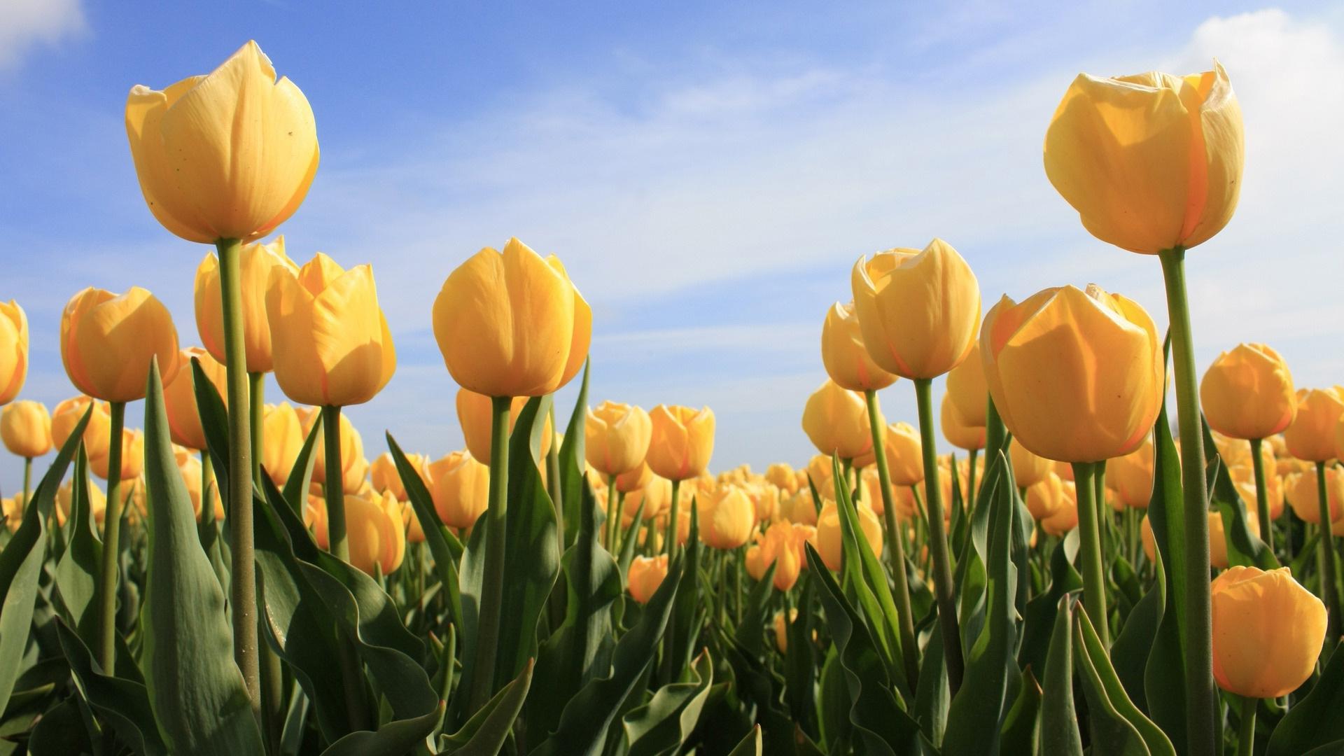 Обои тюльпаны желтые картинки обои