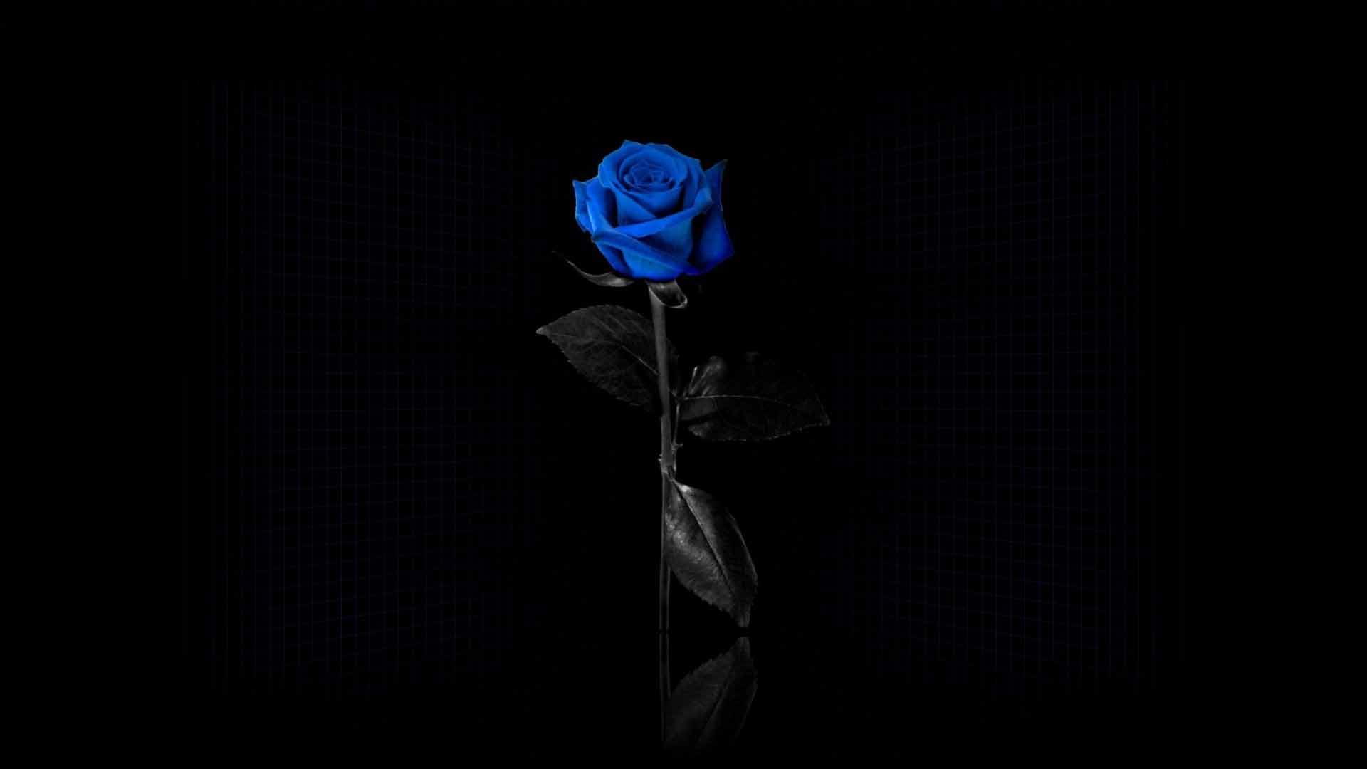 Обои голубая роза для рабочего стола