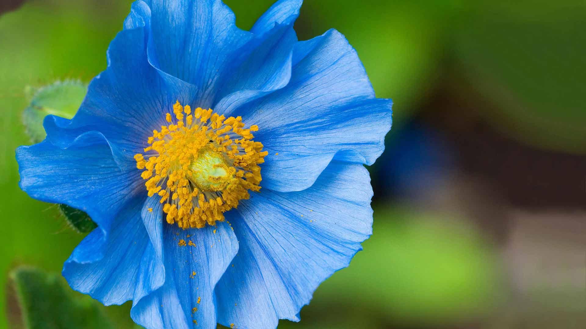 Как получит голубой цветок