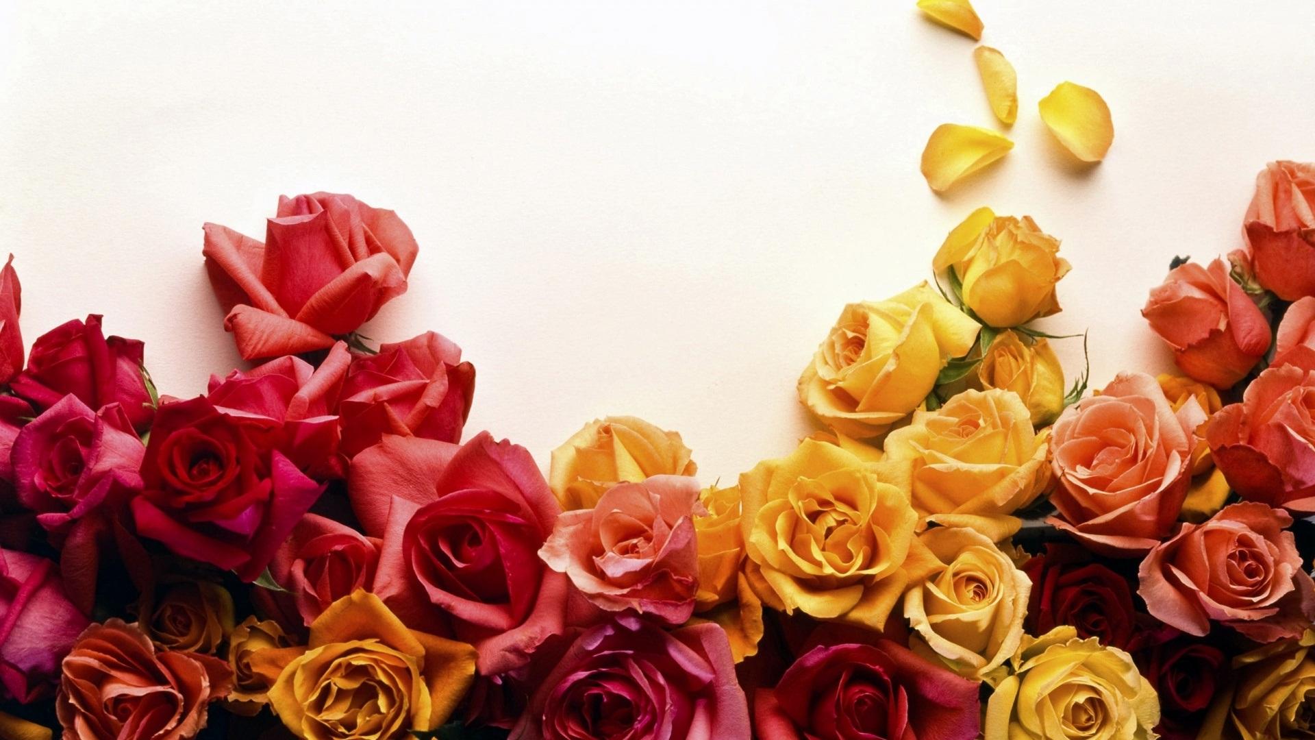 Фото цветы розы на рабочий стол