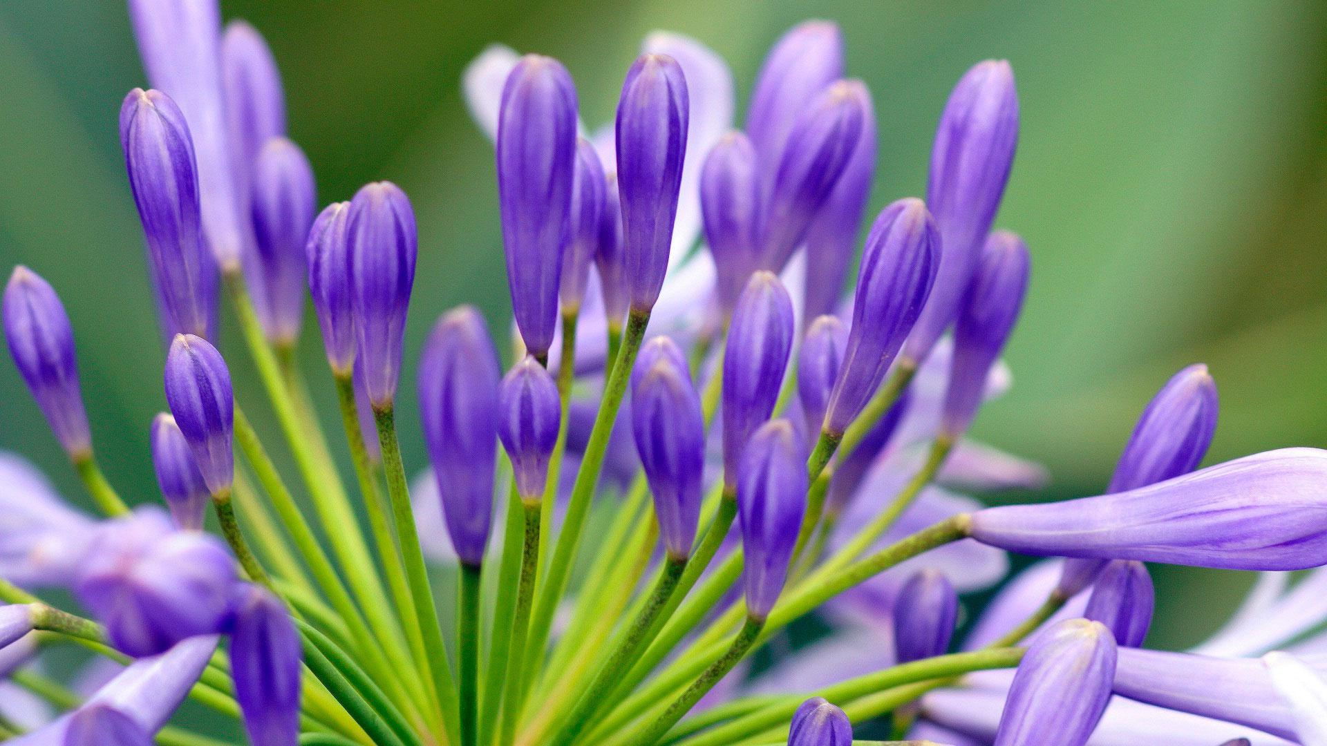 Обои цветы в бразилии синие цветы