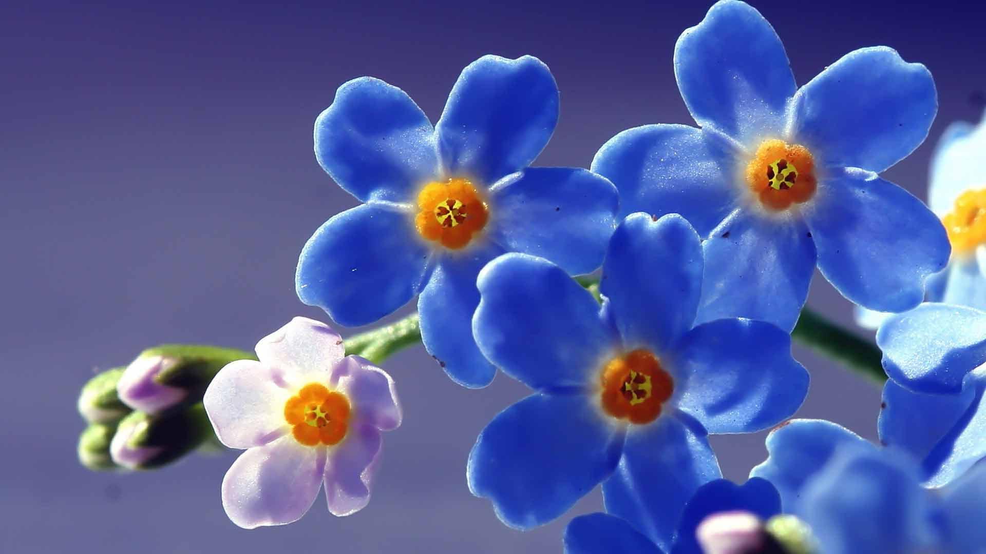 Обои Незабудки, картинки - Обои для ...: www.fullhdoboi.ru/photo/flowers/nezabudki/2-0-22604