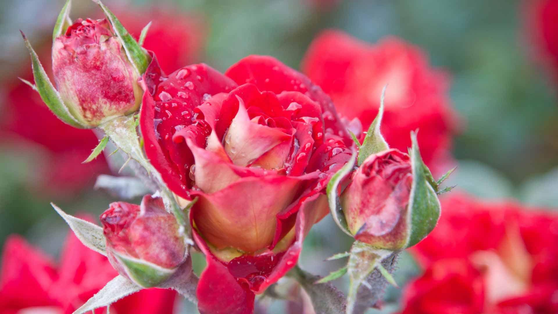 Широкоформатные обои на рабочий стол роза