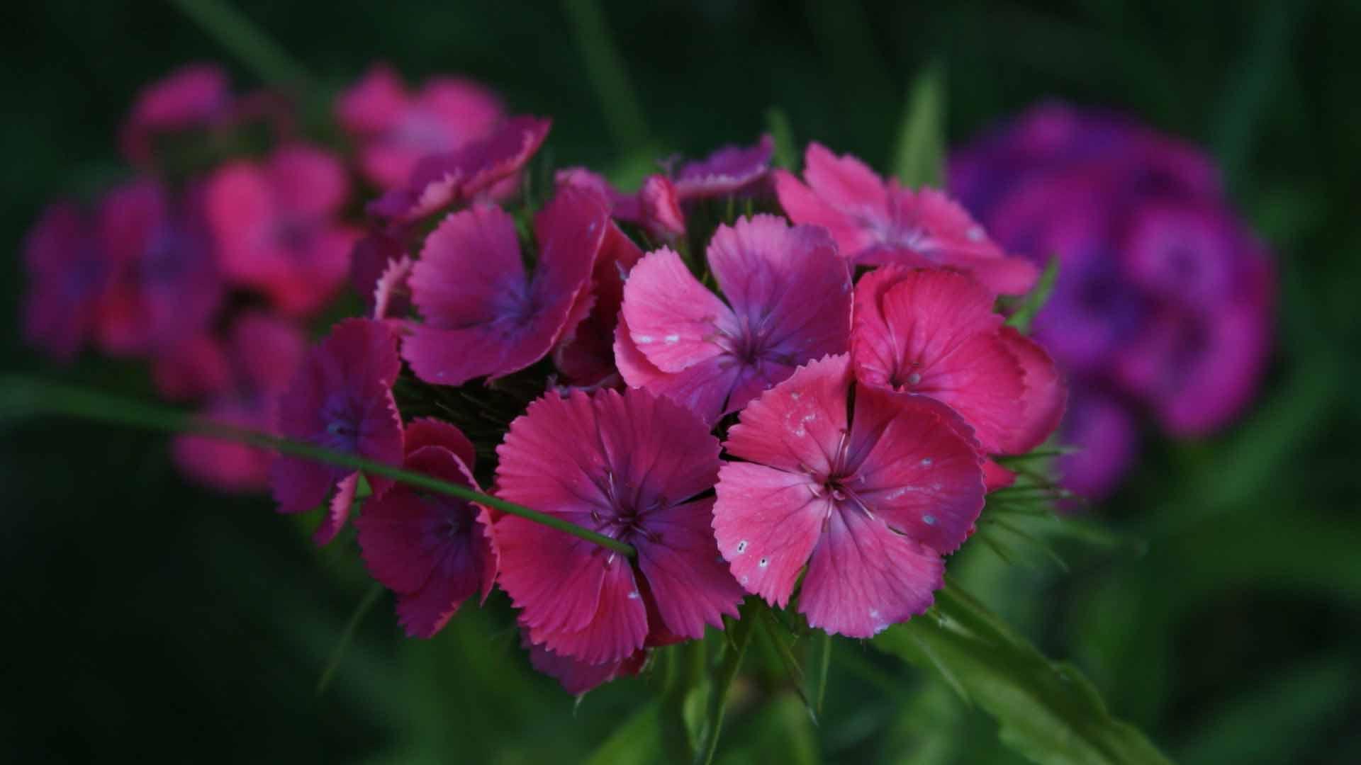 Обои для рабочего стола цветы гвоздики