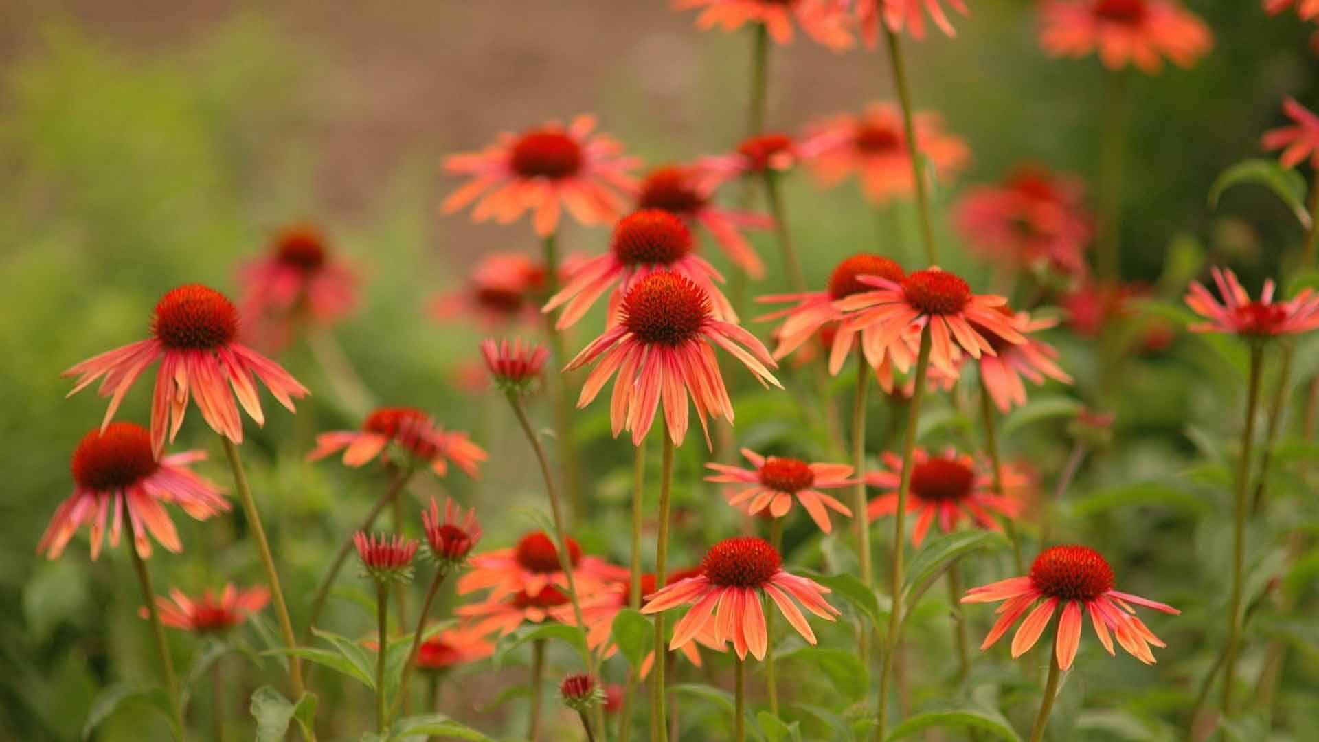 Широкоформатные обои эхинацея цветет