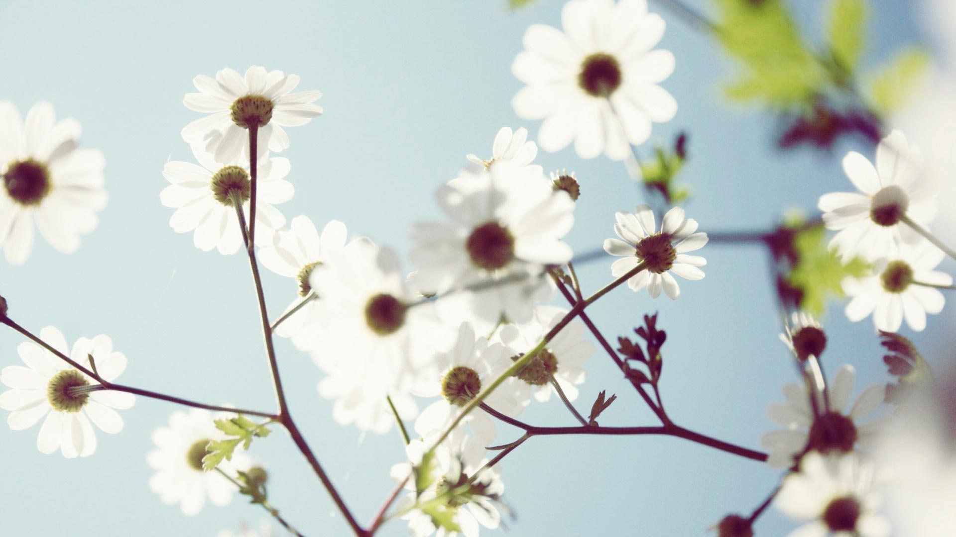 Белые летние цветы летние ромашки