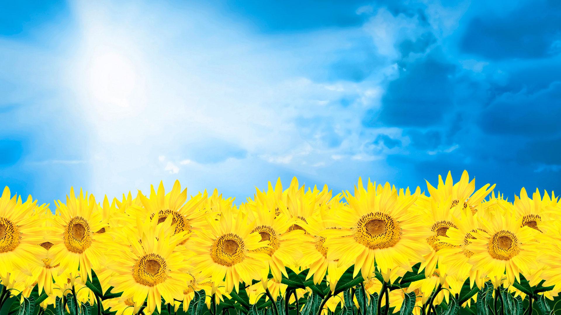 Картинки летние подсолнухи скачать