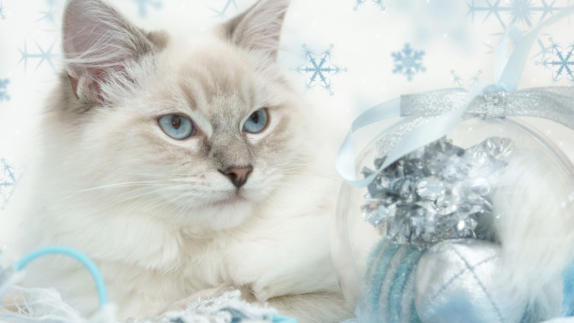 Обои белый кот для рабочего стола