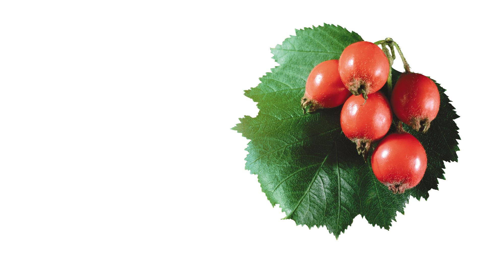Как использовать плоды боярышника в домашних условиях