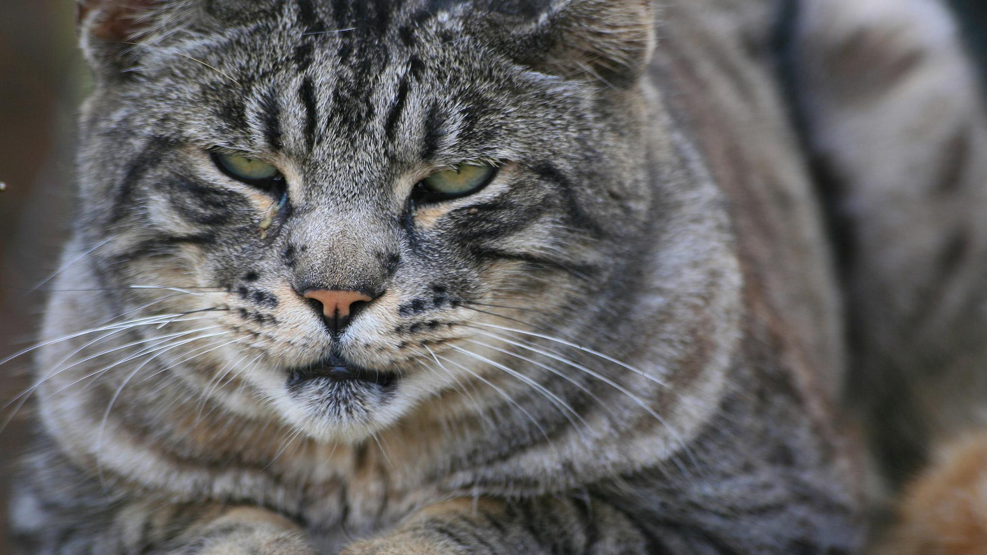 Обои большие кошки картинки обои для