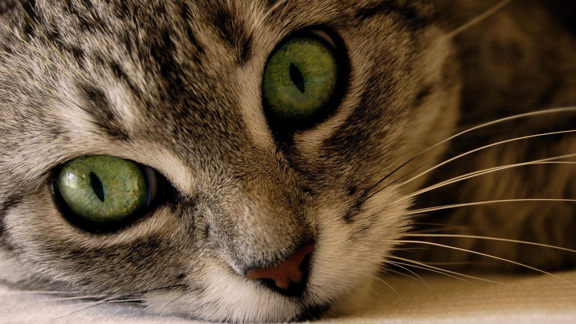 Широкоформатные обои кошачья морда