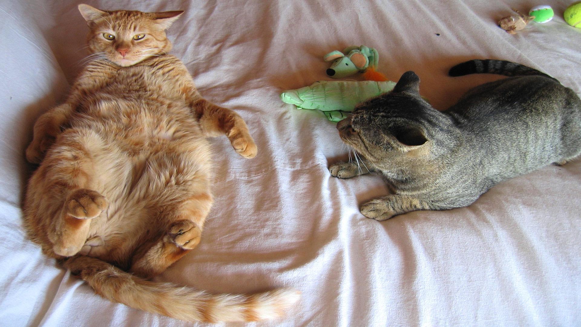 Обои смешные кошки картинки обои для