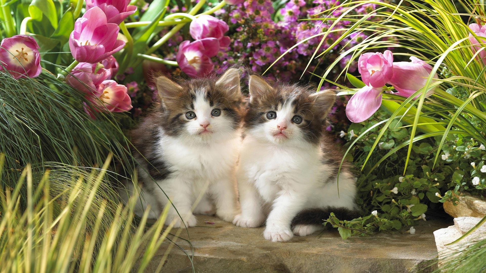 Обои два красивых пушистых котят для