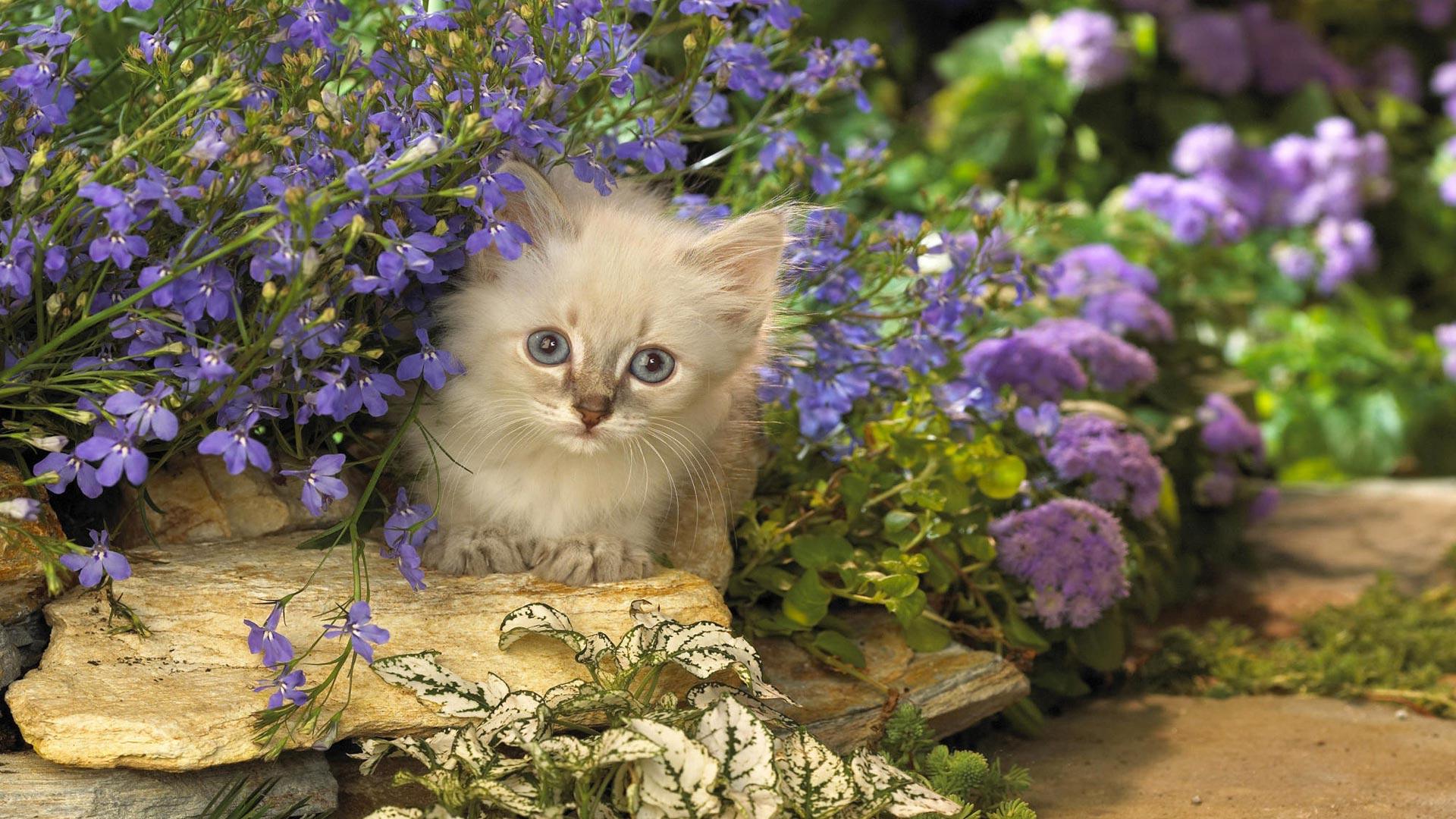 Обои котенок и фиолетовые цветы для
