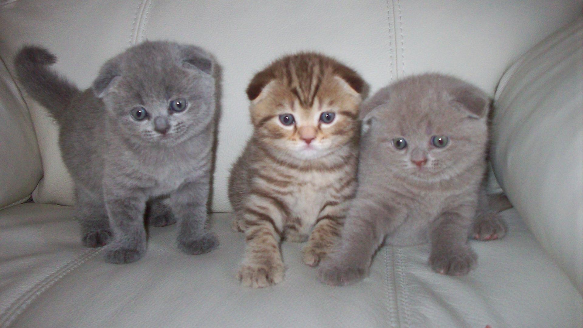 Широкоформатные обои вислоухие кошки