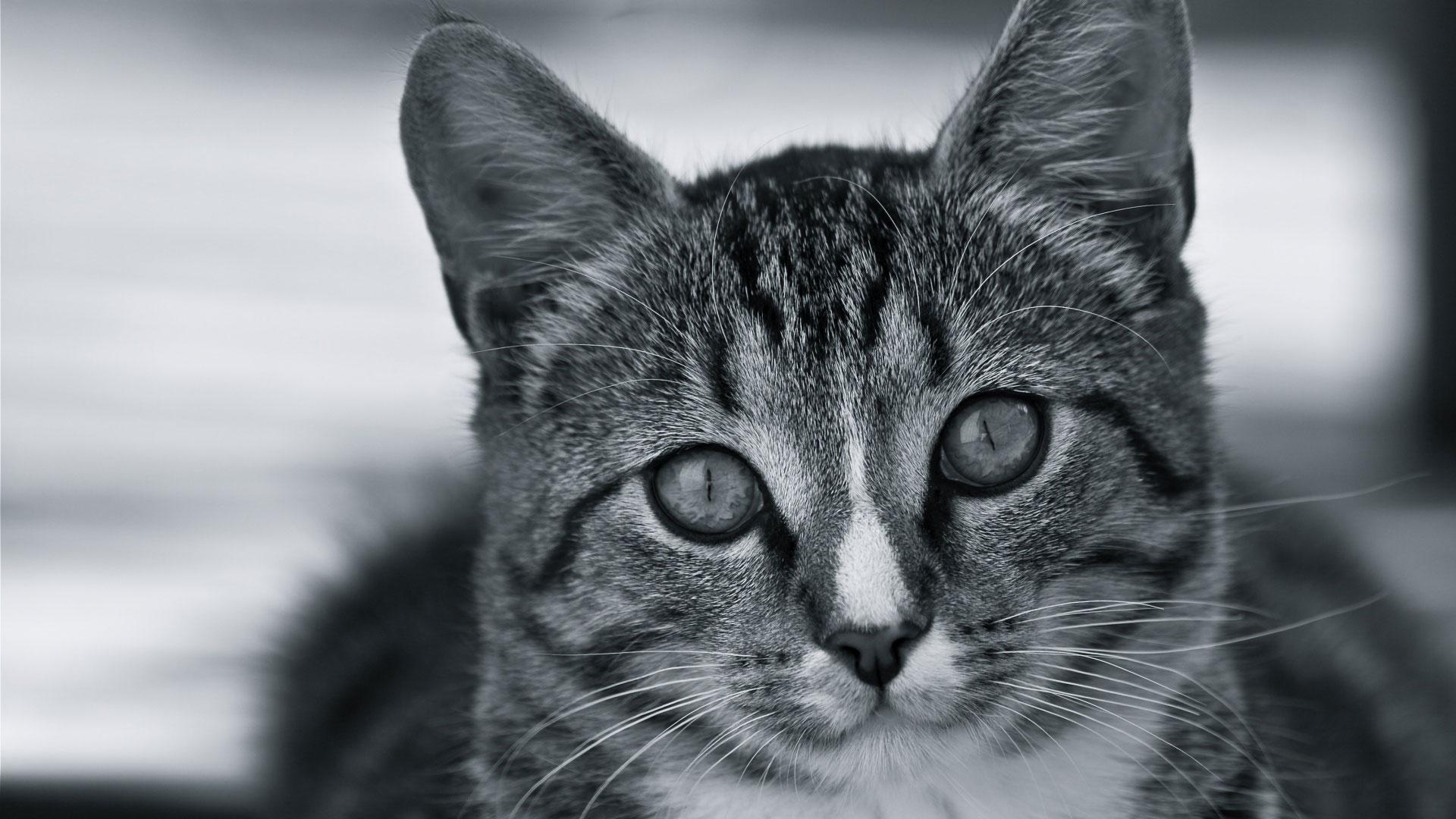 Широкоформатные обои Полосатый кот, Морда полосатого кота в черно-белом изображении.