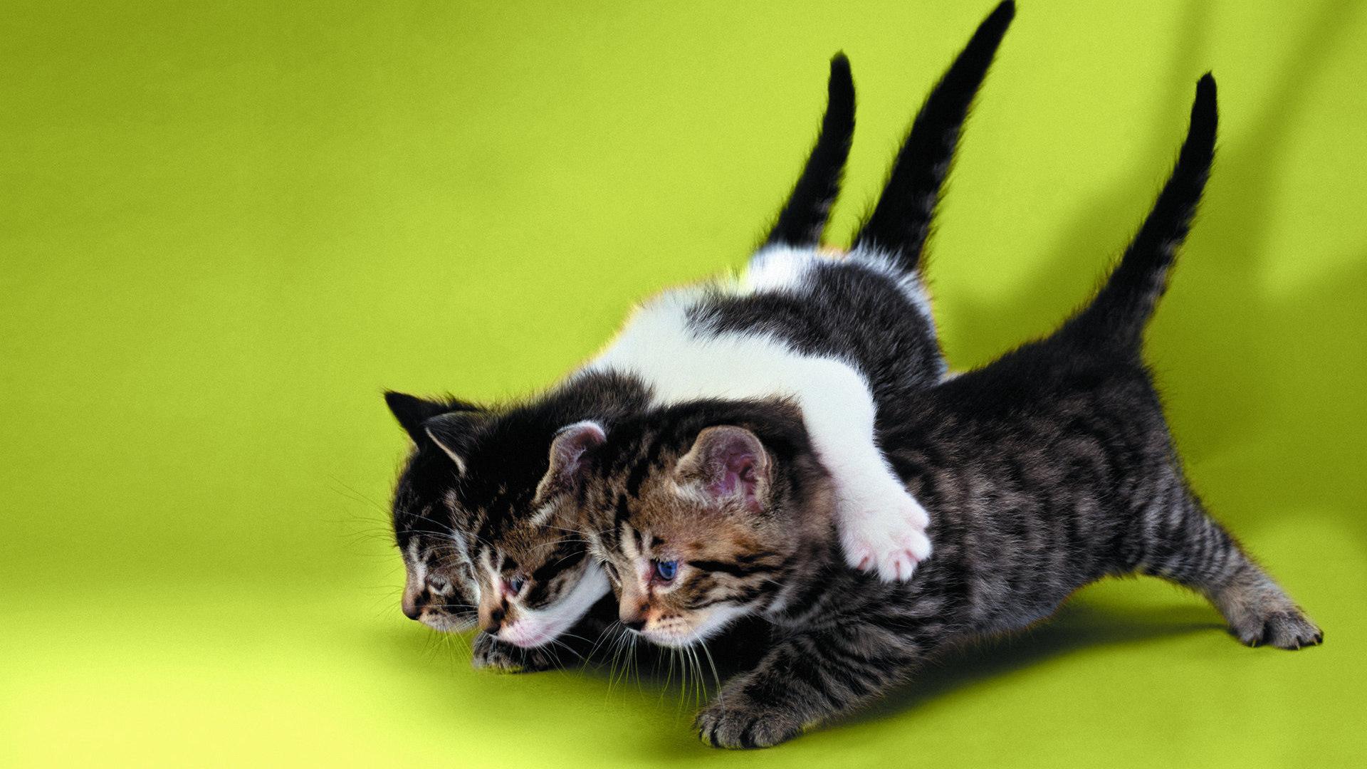 Обои взгляд, темный фон, котенок, котята, три, белые, котёнок.