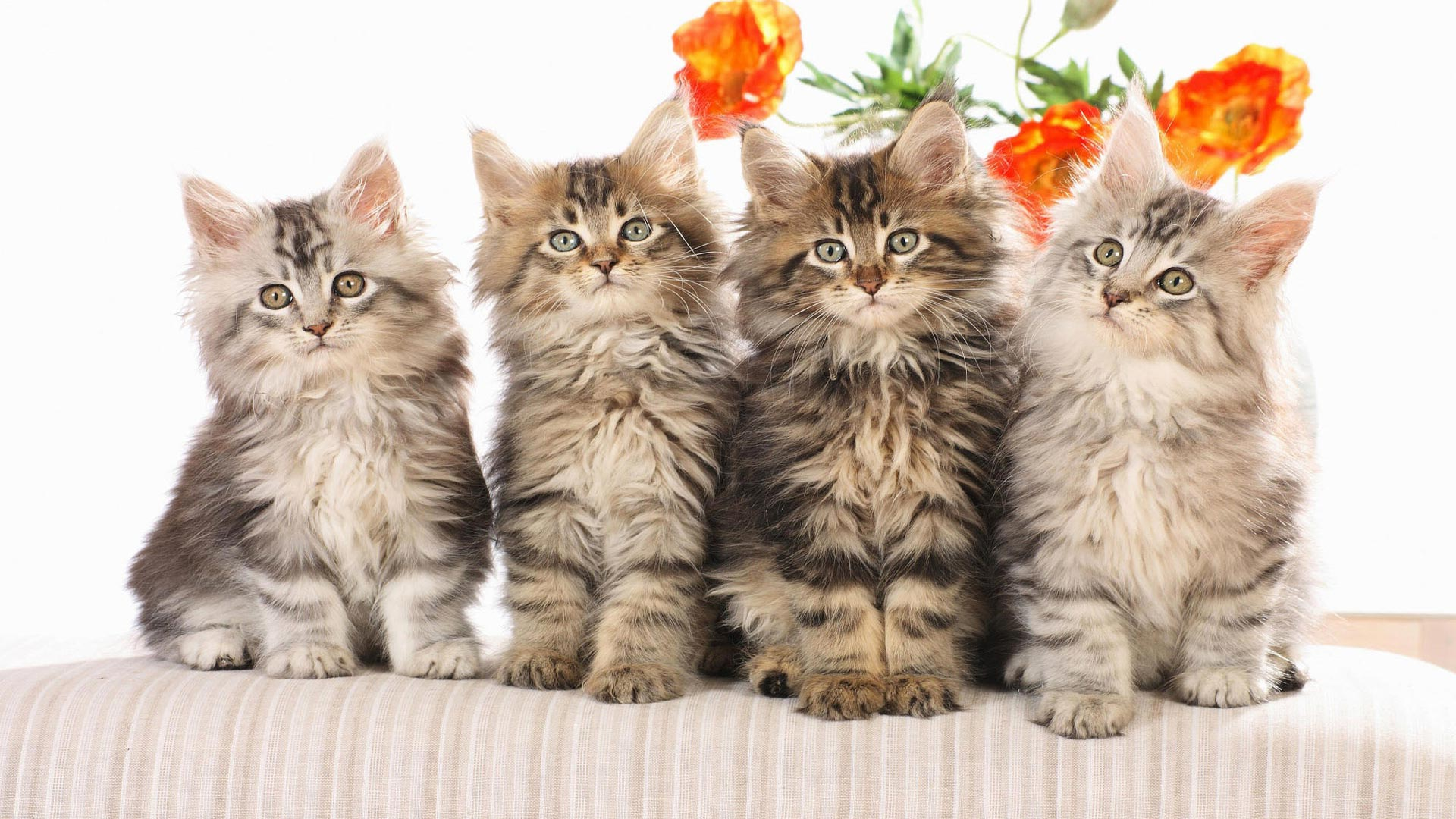 пушистых кошек и котят