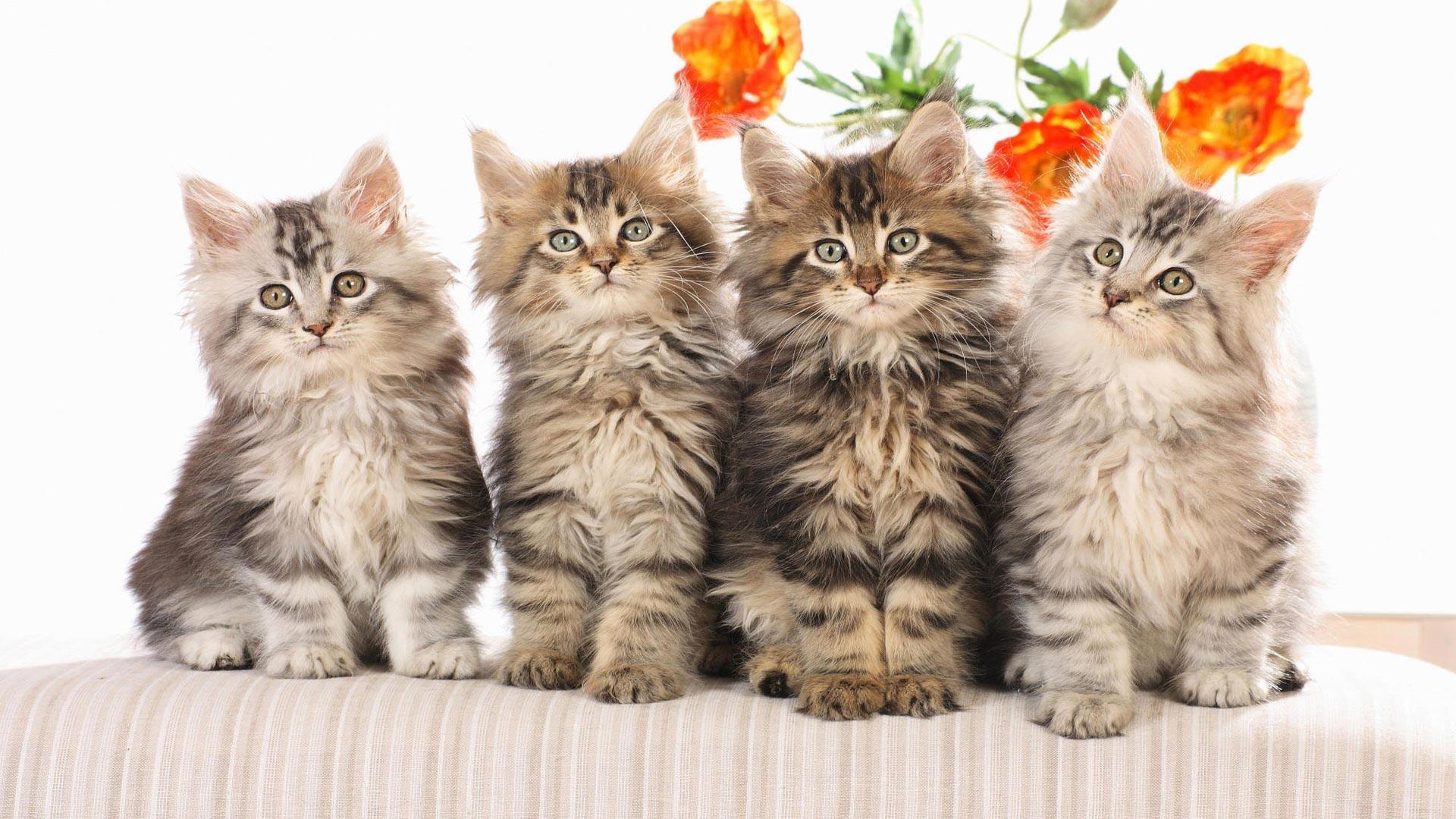 Широкоформатные обои Четыре пушистых ...: www.fullhdoboi.ru/photo/cats/chetyre_pushistykh_kotjat/29-0-24105