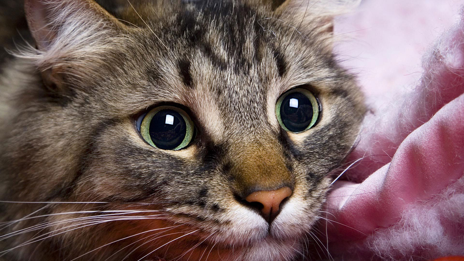 Широкоформатные обои красивая кошка