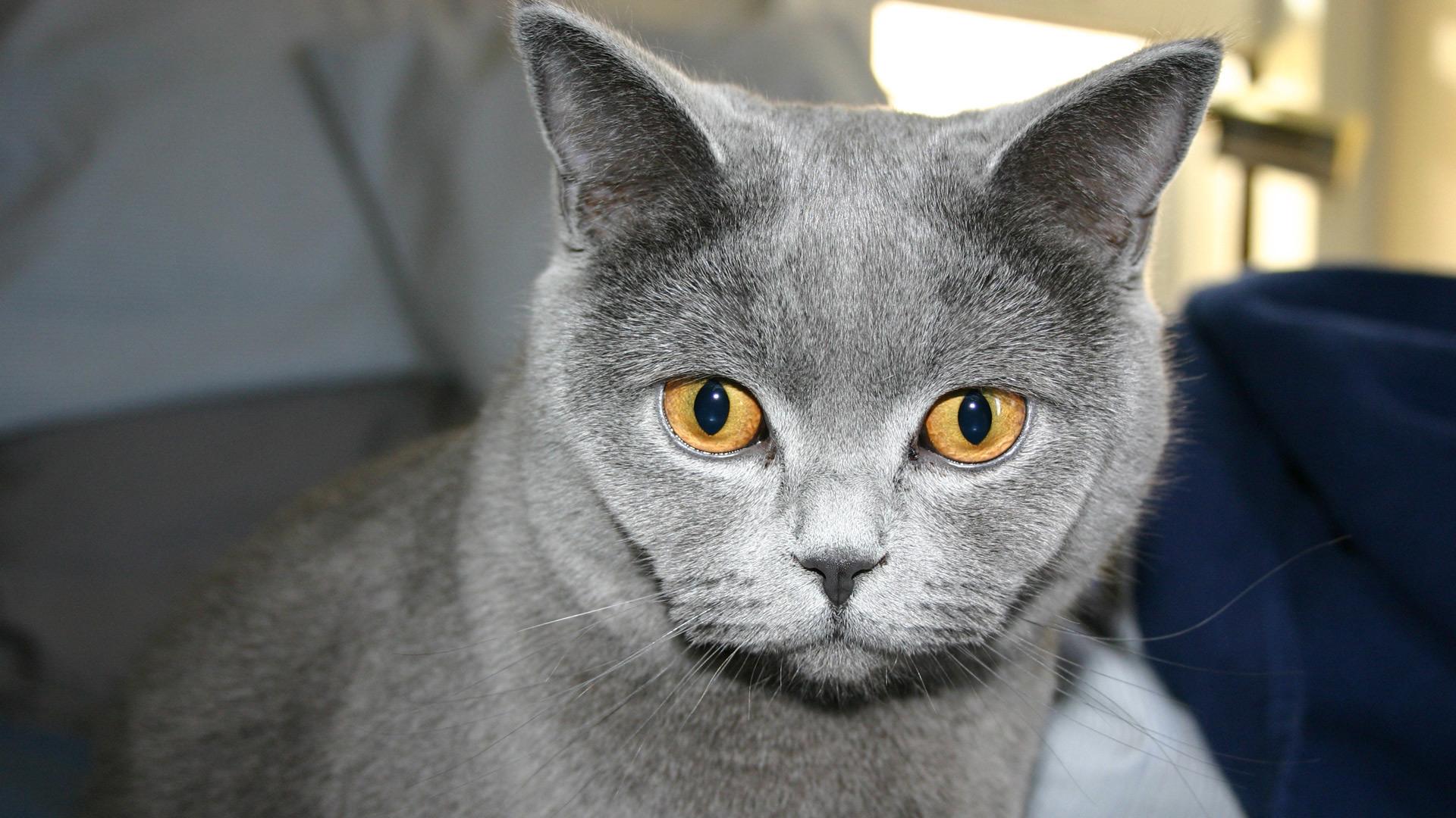 Русская голубая кошка порода русская