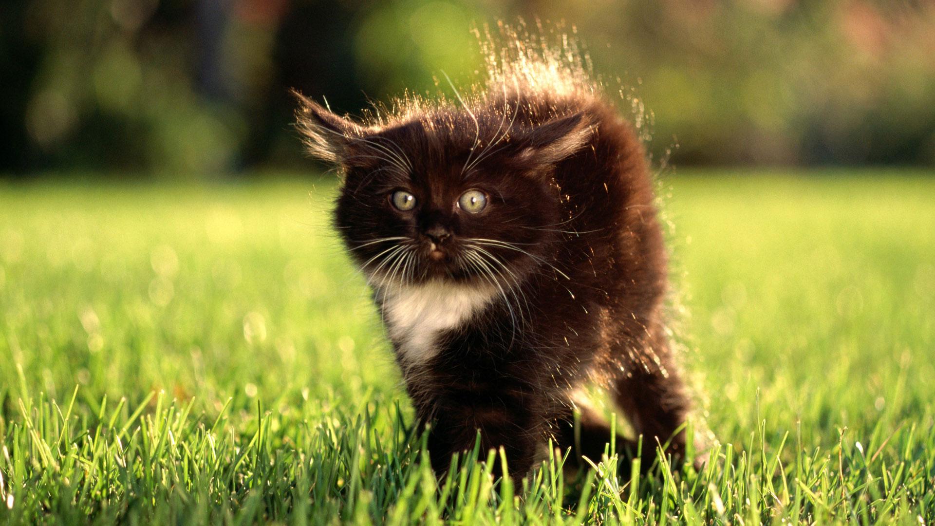 котенок серый пушистый фото