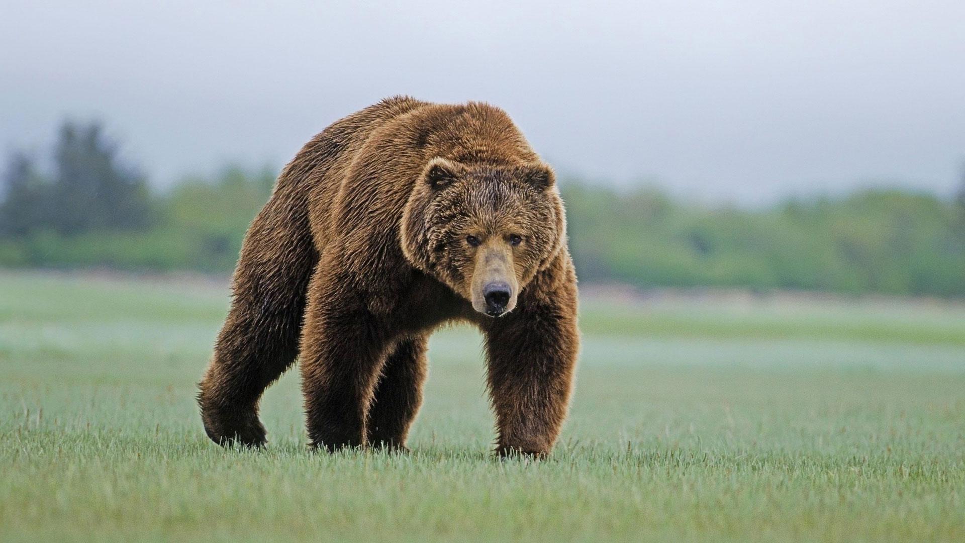 разрешения фото медведи высокого