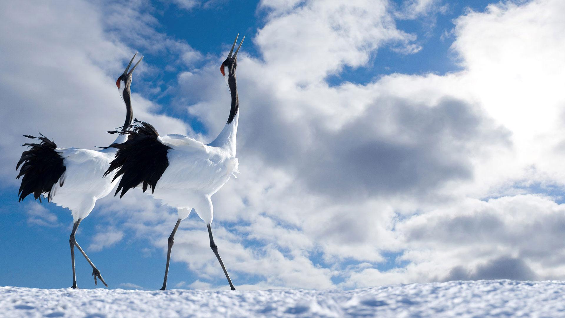 Обои зимние птицы грациозные птицы