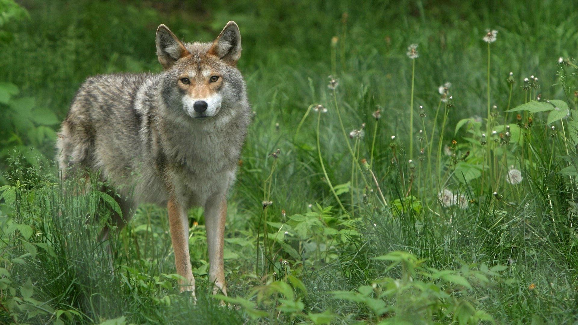 Широкоформатные обои волк в лесу волк