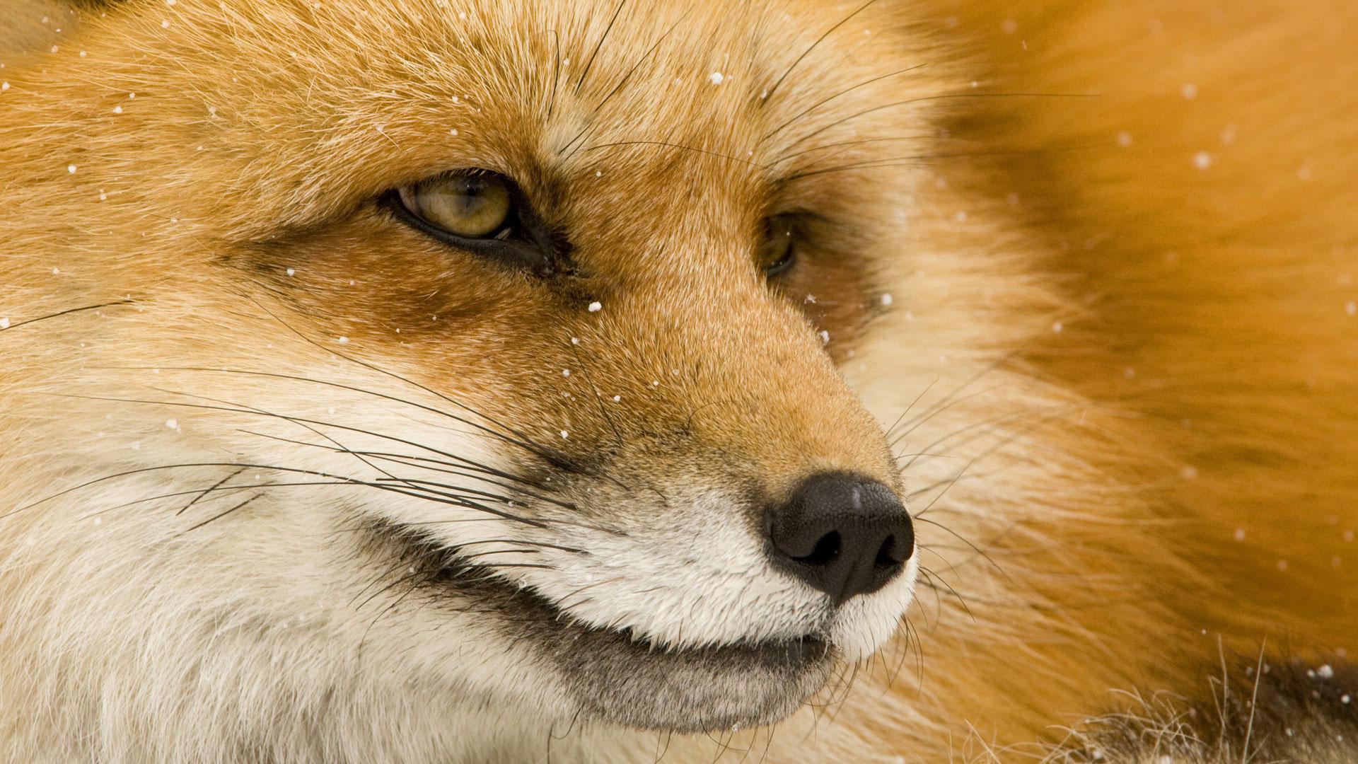 Фото лисы рыжей прикольные 1