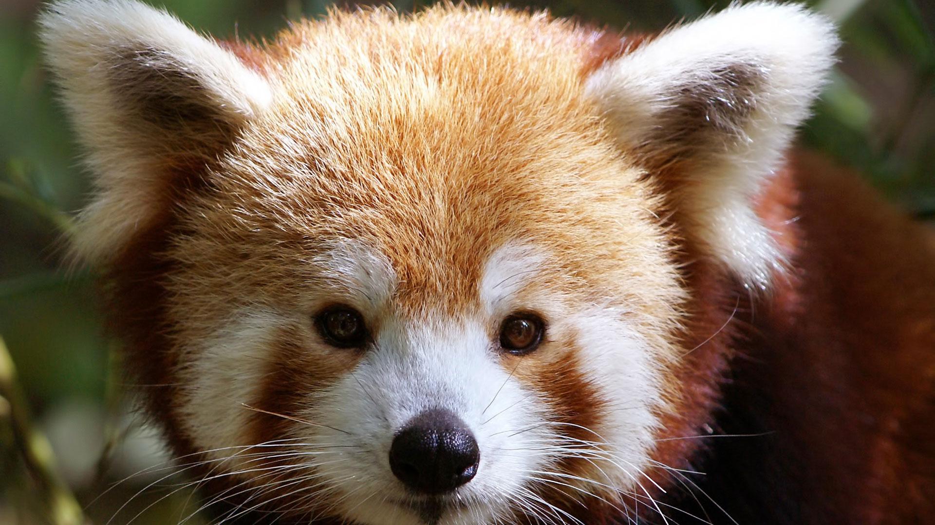 Морда красной панды.