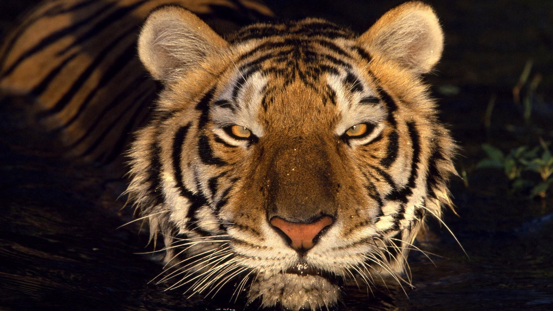 Девушка глаза тигра