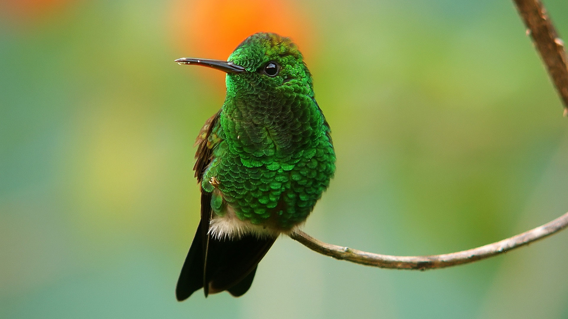 Широкоформатные обои Зеленая колибри ...: www.fullhdoboi.ru/photo/animals/zelenaja_kolibri/3-0-14999