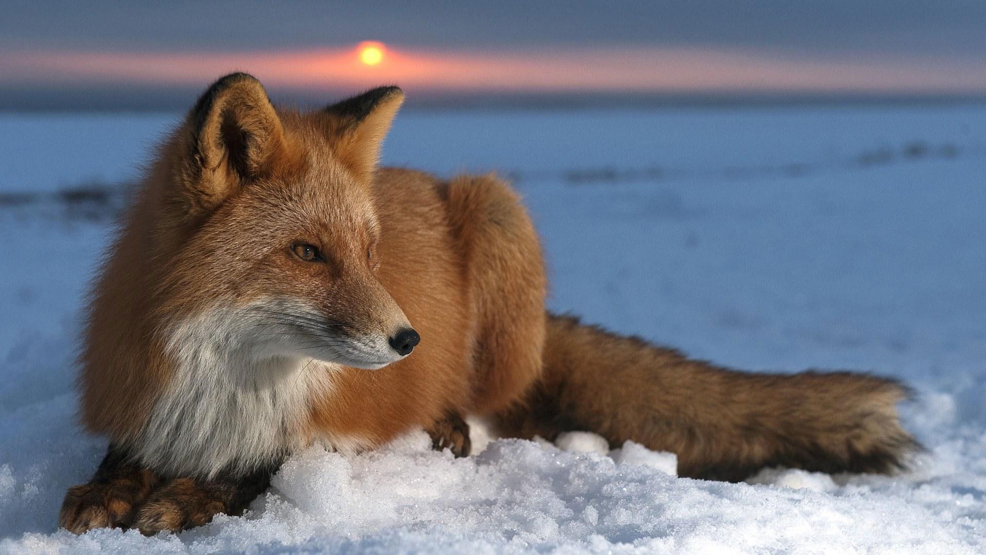 """Предпросмотр схемы вышивки  """"лиса """". лиса, животные, предпросмотр."""