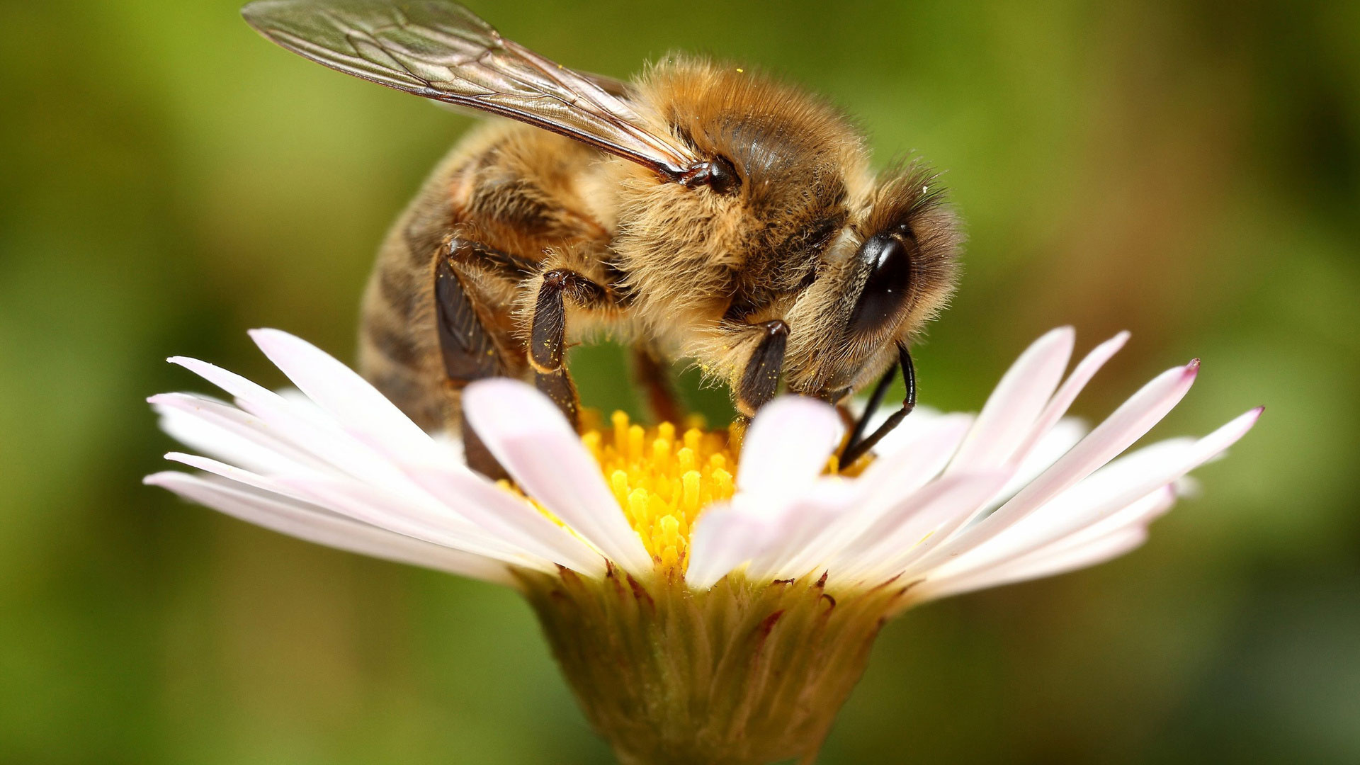 Пчёлы на цветке фото