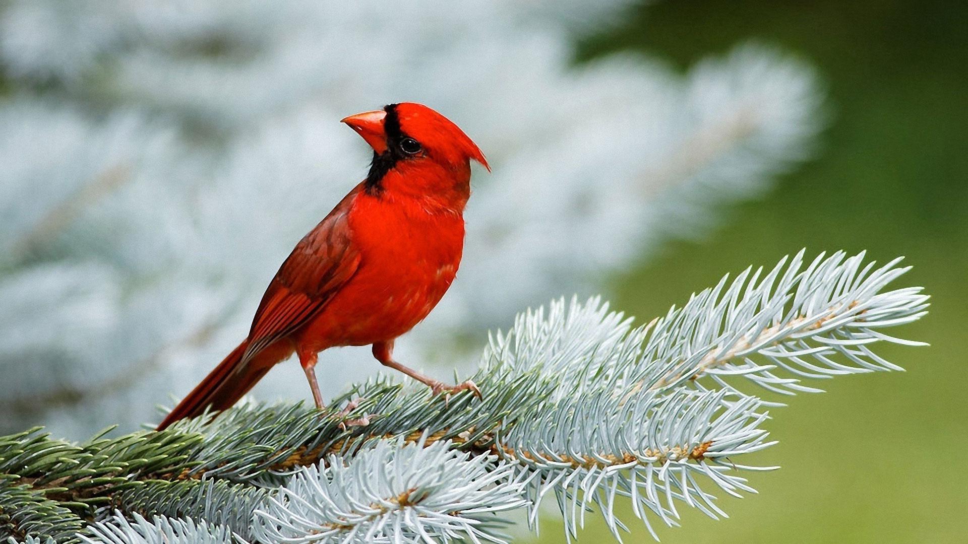 Обои Красная птица Кардинал, картинки