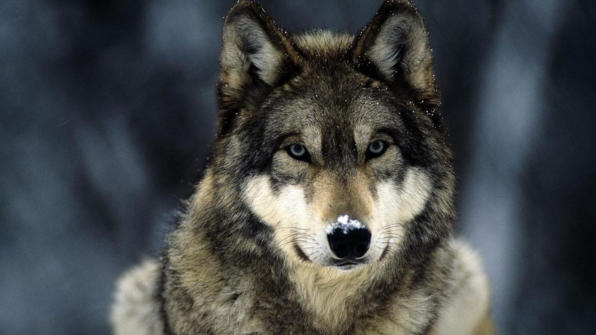 Злой волк скачать - 450b7