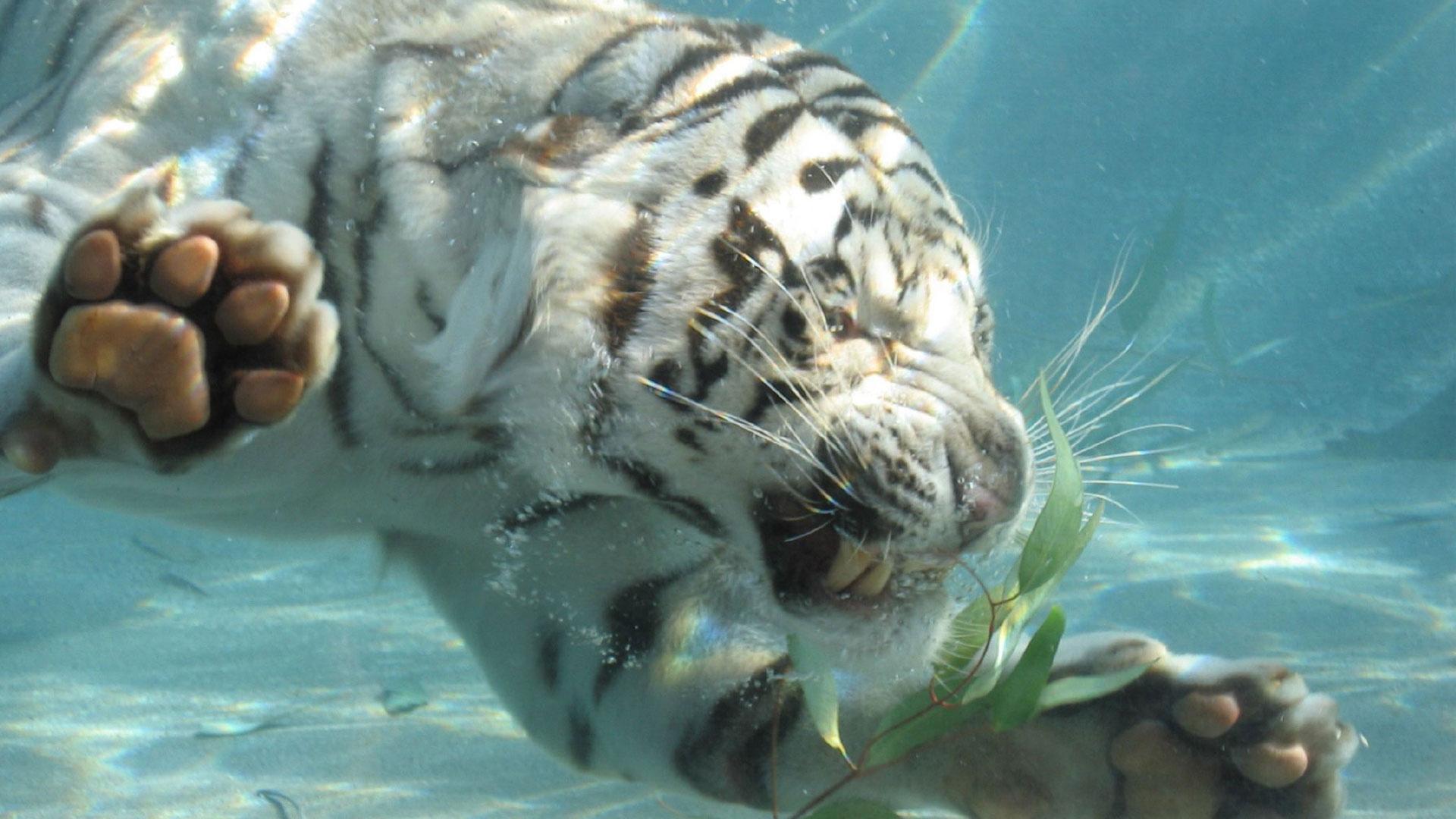 Широкоформатные обои Купание белого тигра, Белый тигр ныряет под водой.