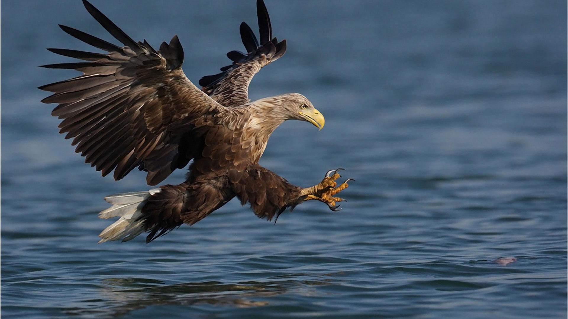 Обои орел на рыбалке орел ловит рыбу в