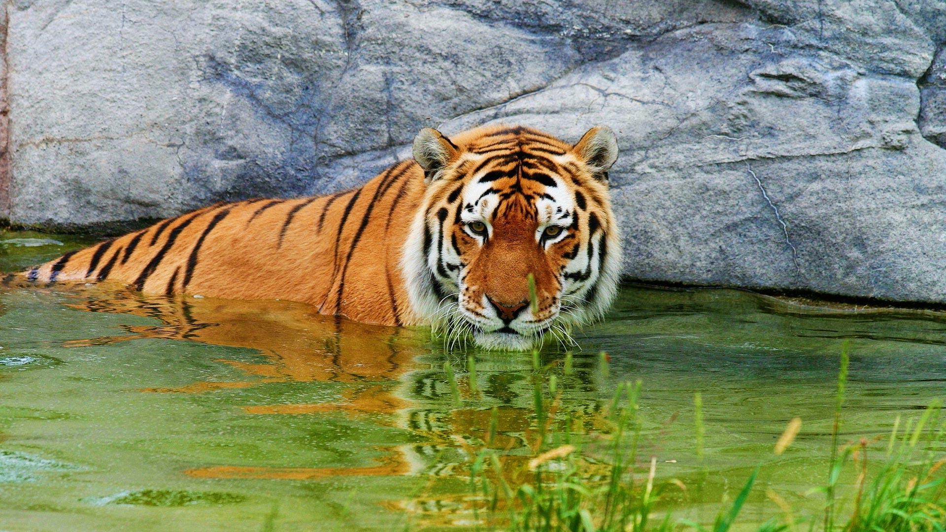 """Оригинал - Схема вышивки  """"тигр в воде """" - Схемы вышивки - lucifera - Авторы - Портал  """"Вышивка крестом """" ."""