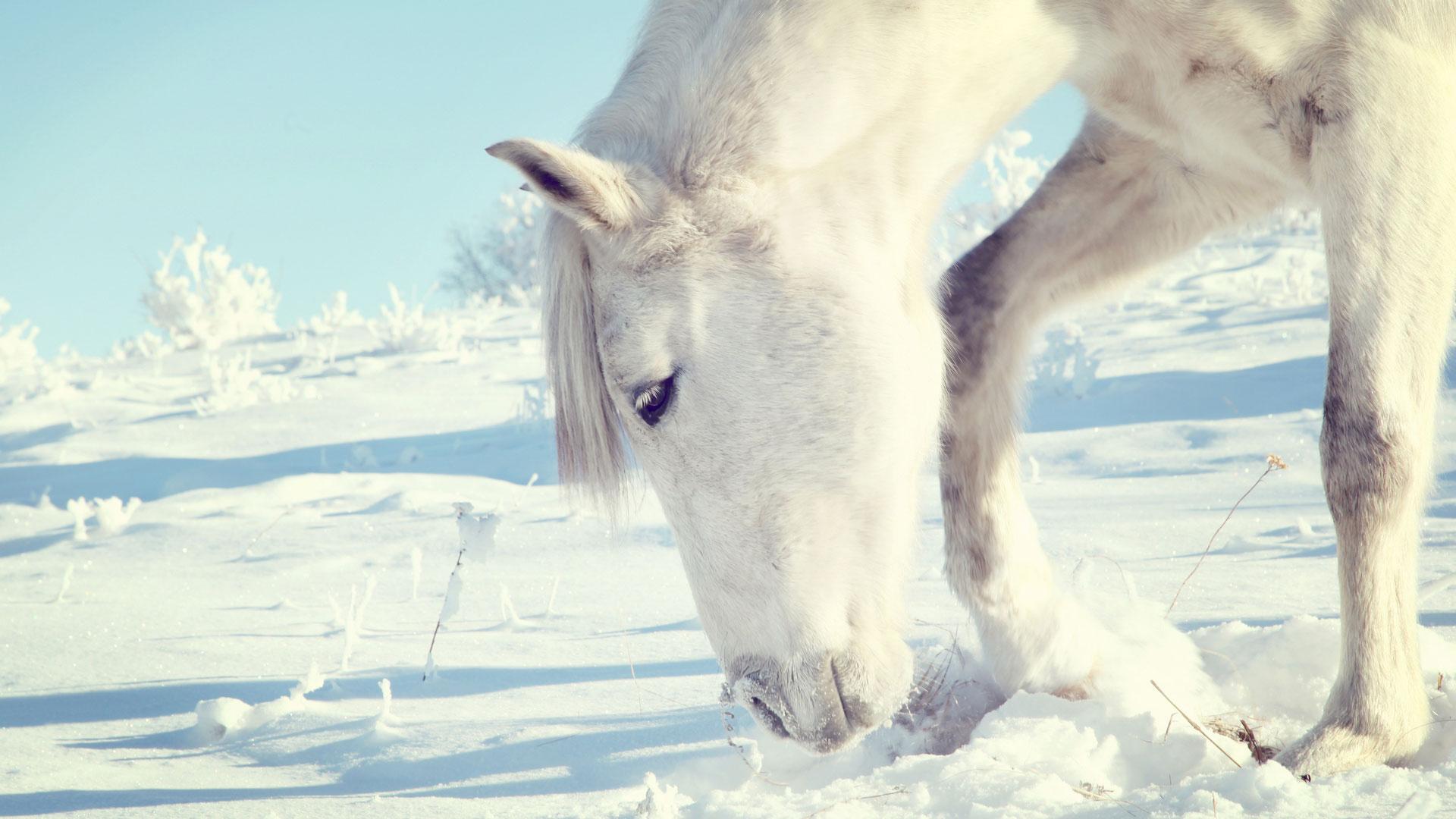 Белая лошадь на белом белая лошадь
