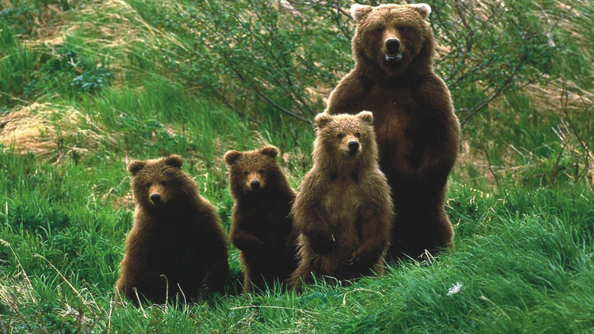 Обои медведи картинки обои для