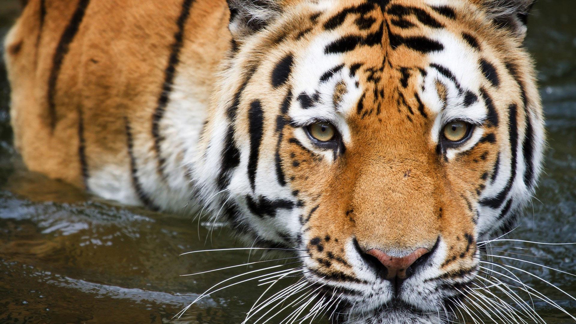 Бенгальский тигр обои на рабочий стол 2