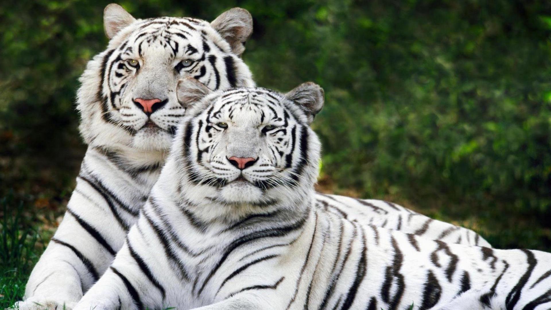 Тату тигров  130 лучших фото татуировок 2018 года