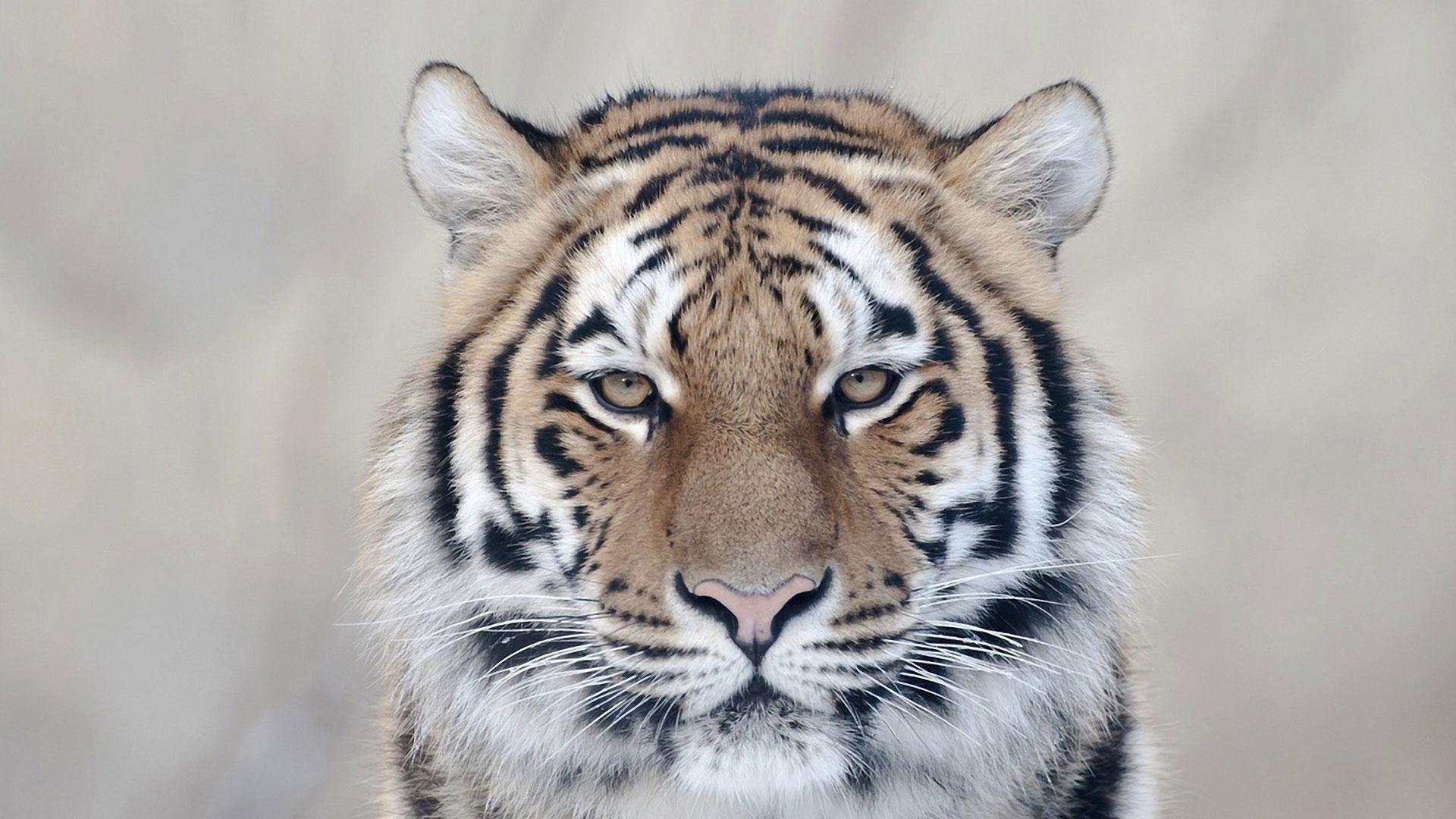 Морда тигриная морда крупным планом