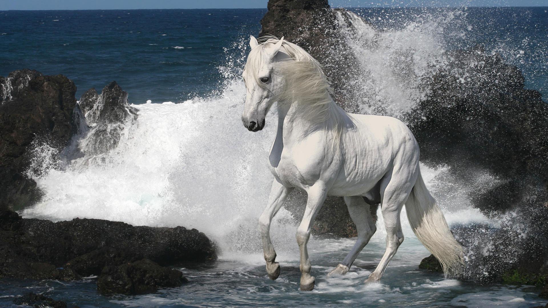 Обои лошадь в прибое белая лошадь в