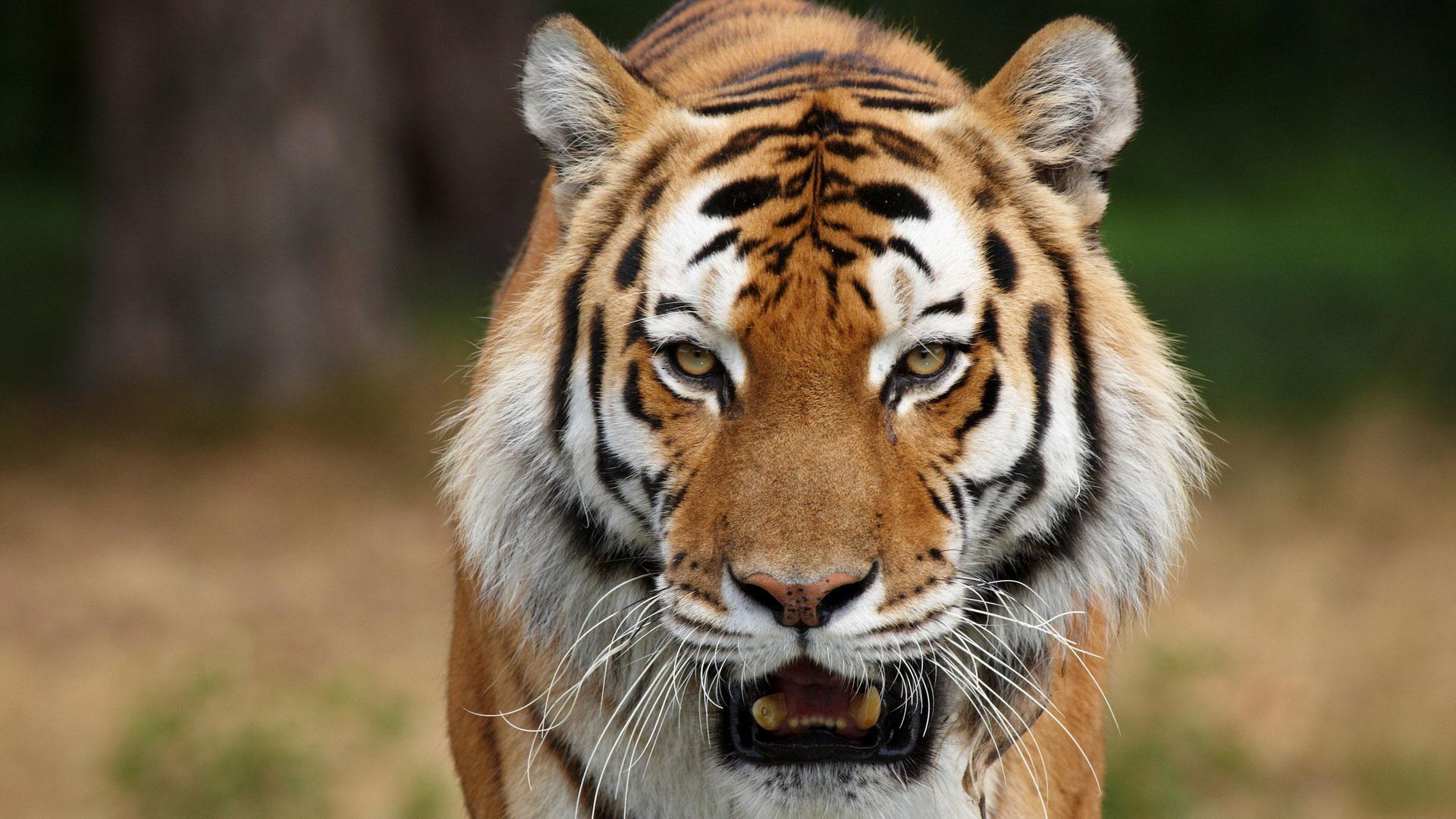 Скачать бесплатно оскал тигра 6